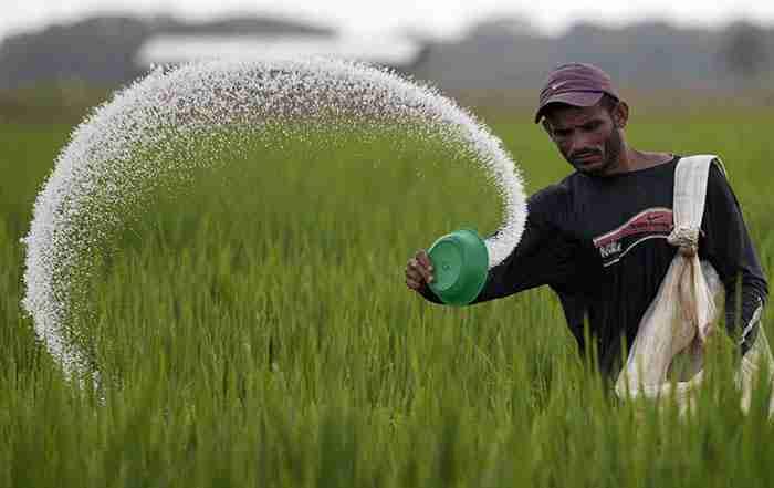 تغذیه برنج در شالیزار
