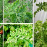 بیماری ویروسی سرجمک گوجه فرنگی