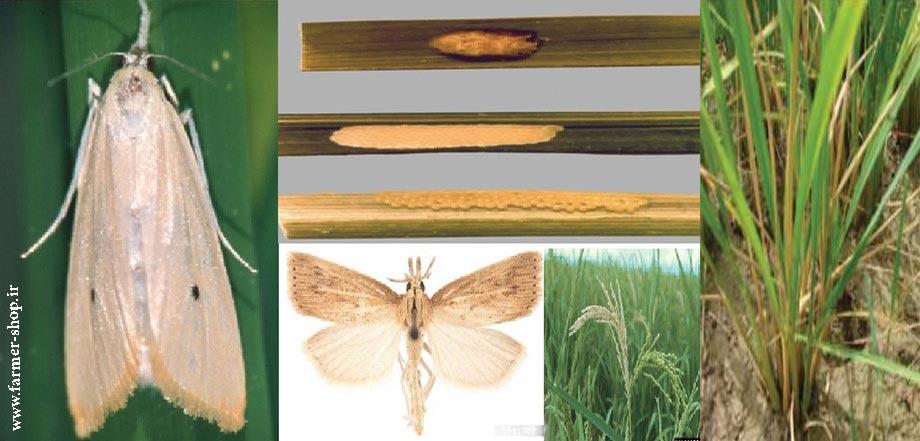 کنترل غیر شیمیایی کرم ساقه خوار نواری برنج