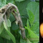 بیماری بادزدگی فیتوفترایی سیب زمینی