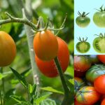 شیوه رساندن گوجه فرنگی های پاییزه