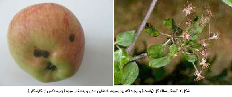 علایم خسارت لکه سیاه سیب ر.ی گل و میوه
