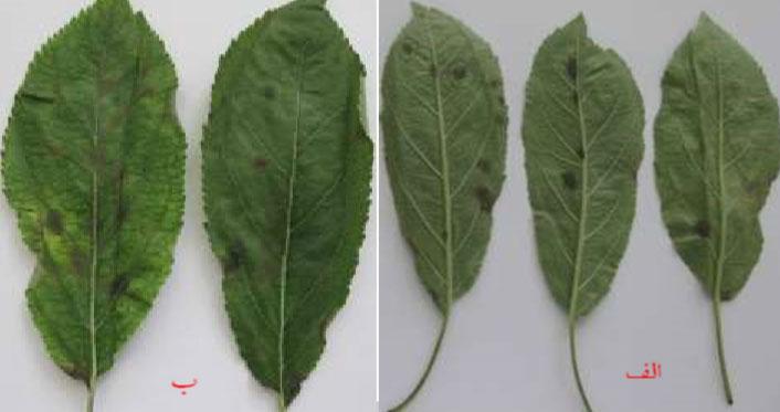 علایم بیماری لکه سیاه سیب روی برگ