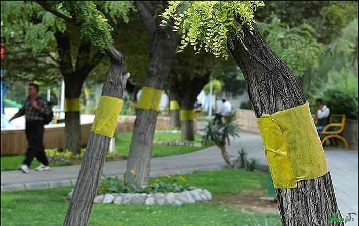 نصب تله های چسبی زرد رنگ به منظور کاهش جمعیت پسیل پسته