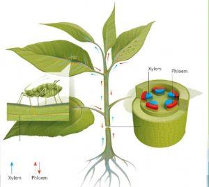 نحوه جریان سم مونتو در گیاهان