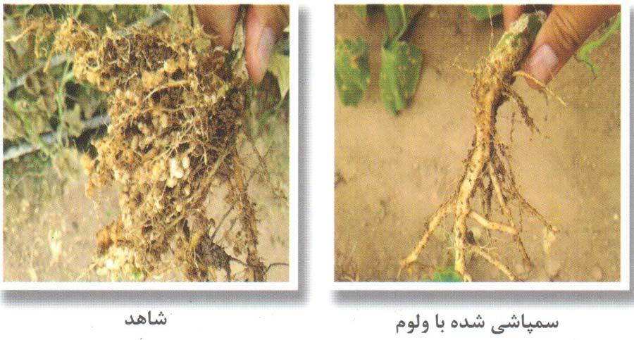 مقایسه استفاده از فلوپیرام ( Felupyram 41.5% ) در محصول شاهد و تیمار شده با ولوم پرایم