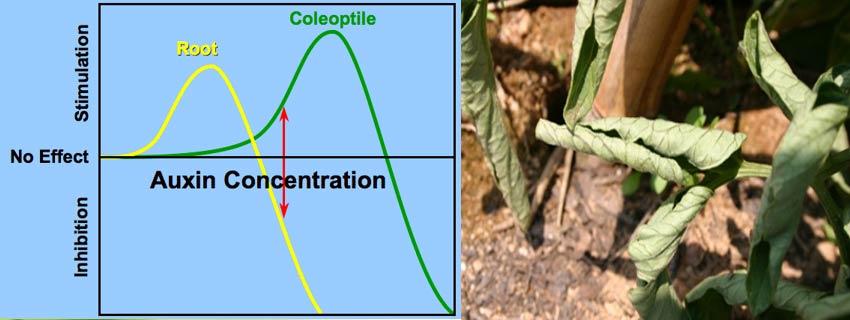 علایم تاثیر علفکش ترکیبی (Mecoprop-p-Dichlorprop-p+MCPA)