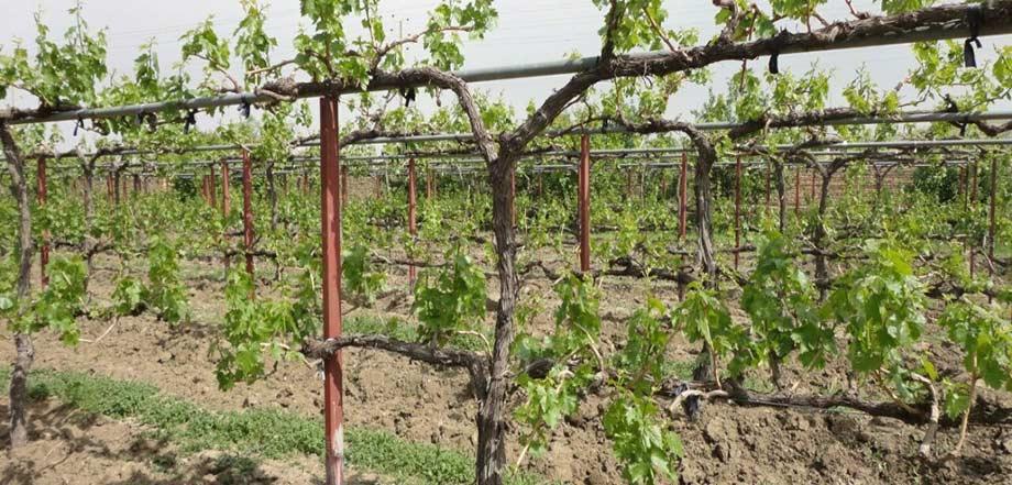 مدیریت سرمازدگی بهاره در تاکستان