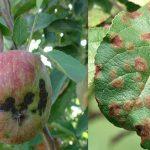 بیماری لکه سیاه سیب