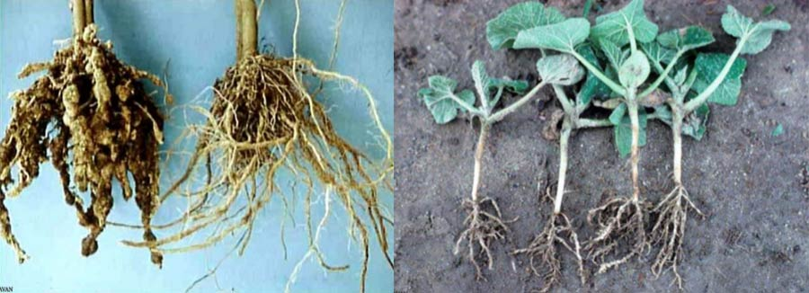 علایم نماتد روی ریشه گیاهان