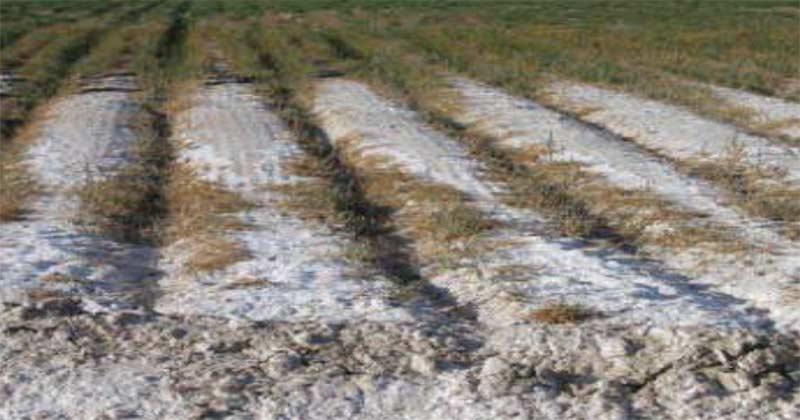 تجمع نمک بر روی پشته های زمین زراعی و کود مناسب اصلاح خاک شور