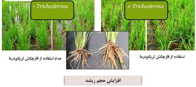 افزایش حجم ریشه برنج با استفاده از قارچ کش تریکومیکس اچ وی (Trichomix HV)