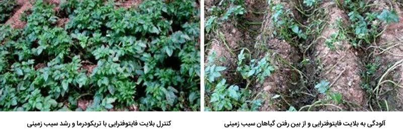 کنترل بلایت فایتوفترایی در سیب زمینی