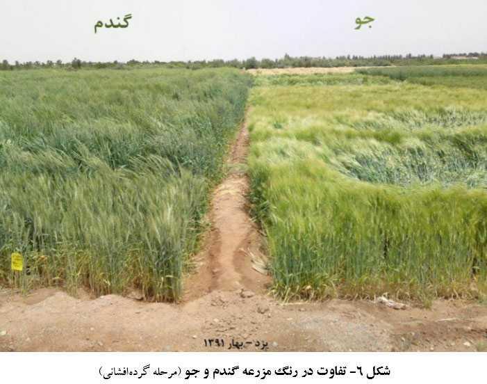 تفاوت در رنگ مزارع گندم و جو در مرحله گرده افشانی