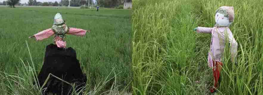 استفاده از مترسک در مزارع و شالیزار