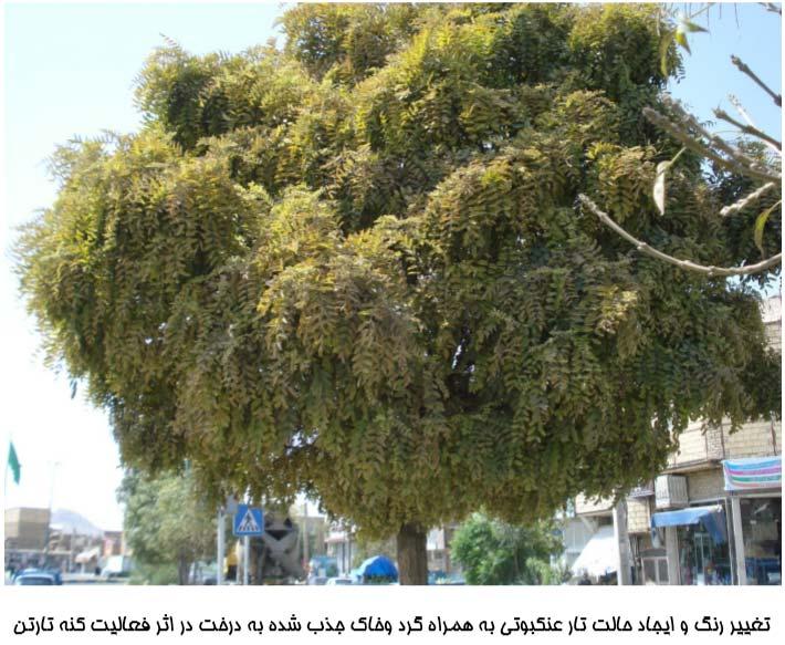 نمای درخت آلوده به کنه Tetranychus urticae