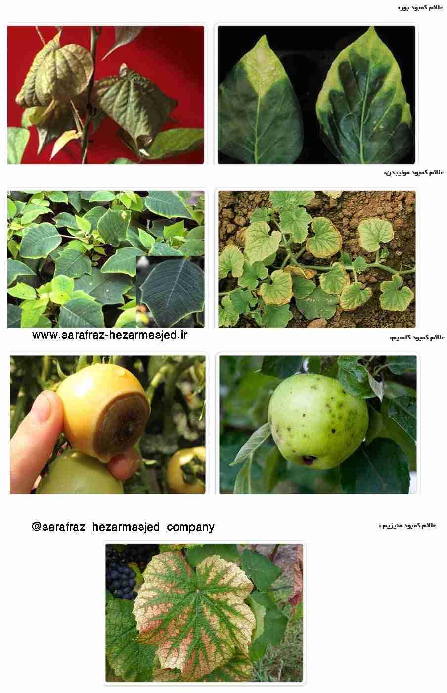 علایم کمبود بور ، کلسیم ، مولیبدن ، منیزیوم در گیاهان