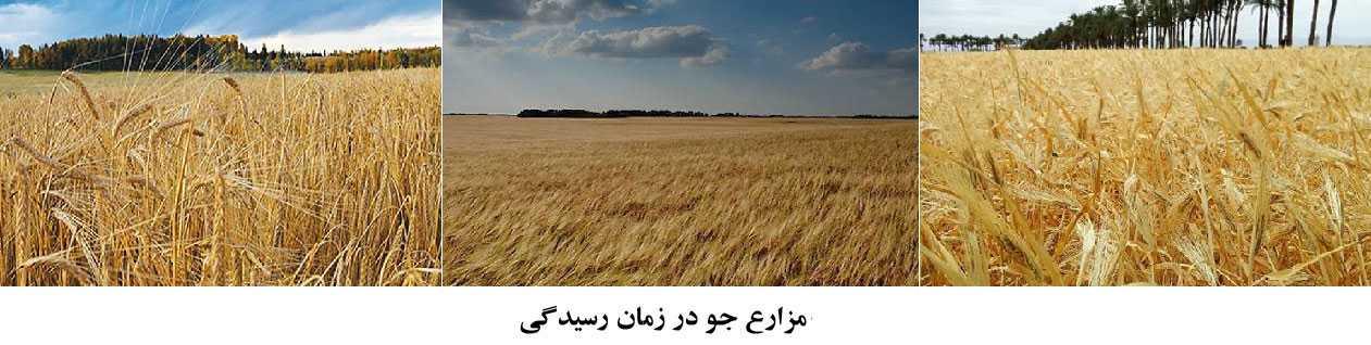 شکل کلی نزارع جو در زمان رسیدگی محصول