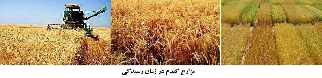 نمای ظاهری مزارع گندم در زمان رسیدن