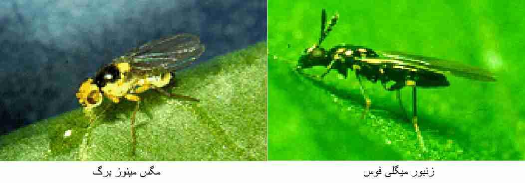 مگس مینوز برگ - زنبور پارازیتوئید میگلی فوس