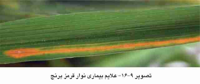 بیمـاري بـرگ زرد ( yellow leaf disease ) ، سندروم برگ زرد (yellow leaf syndrome) و سندروم زردي بـرگ (leaf yellowing syndrome)، در اندونزي به عنـوان بلایـت باکتریـایی بـرگ پرتقـالی (bacterial orange leaf blight)