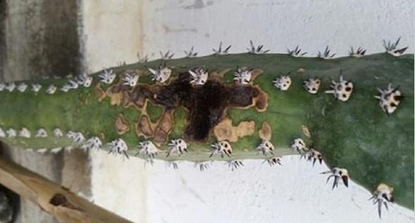 بیماری پوسیدگی سیاه در کاکتوس