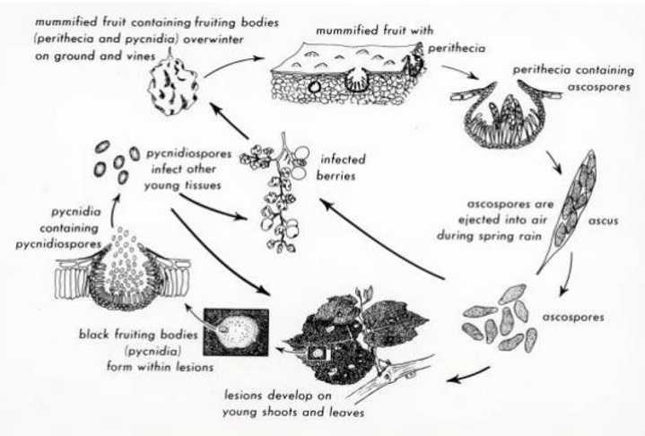 چرخه زندگی قارچ Guignardia bidwellii