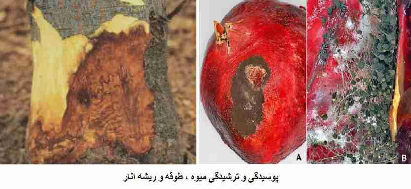 پوسیدگی و ترشیدگی میوه ، طوقه و ریشه