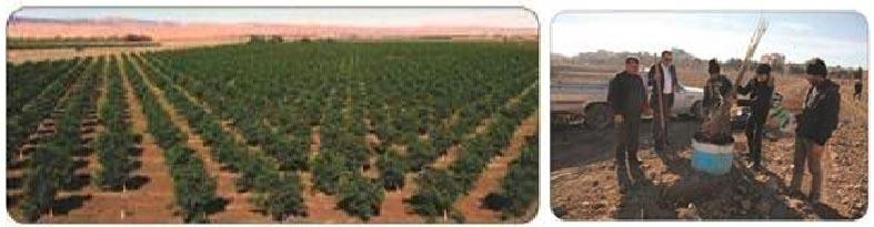 ضد عفونی ریشه نهال ها قبل از کاشت