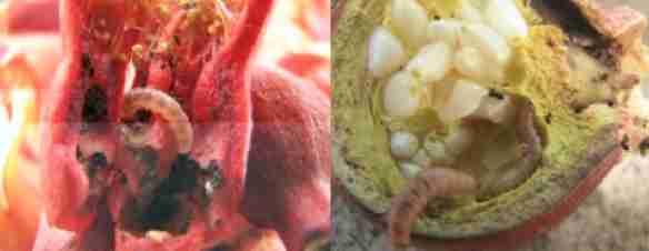 کرم گلوگاه انار Spectrobates ceratoniae zaller