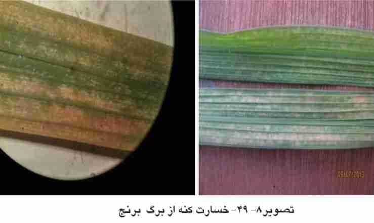 علایم خسارت کنه برنج روی برگ