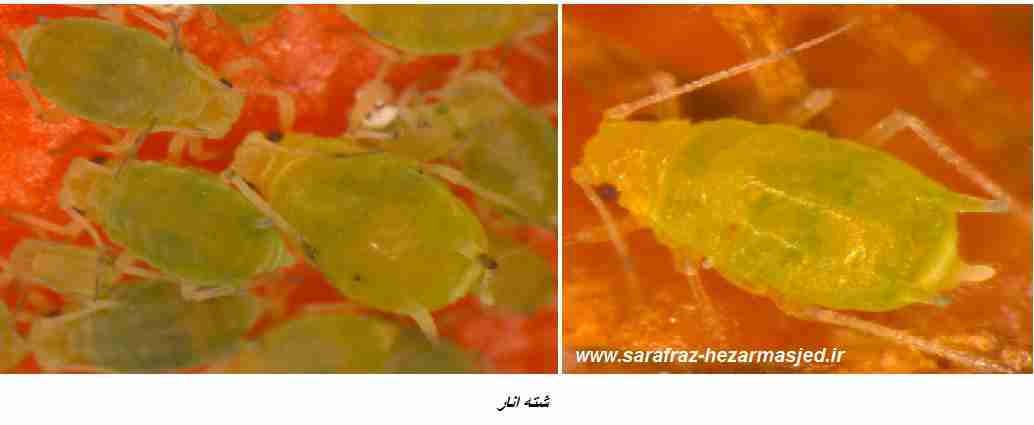 شته سبز انار Aphis punicae passerini