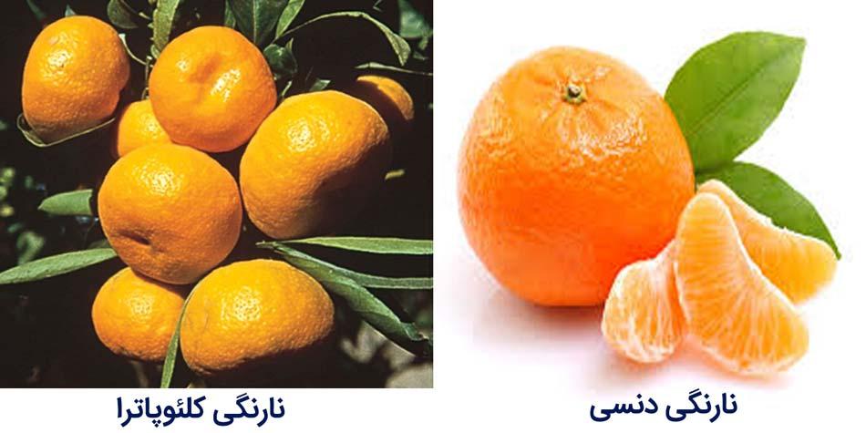 ارقام مرکبات نارنگی کلئوپاترا و نارنگی دنسی
