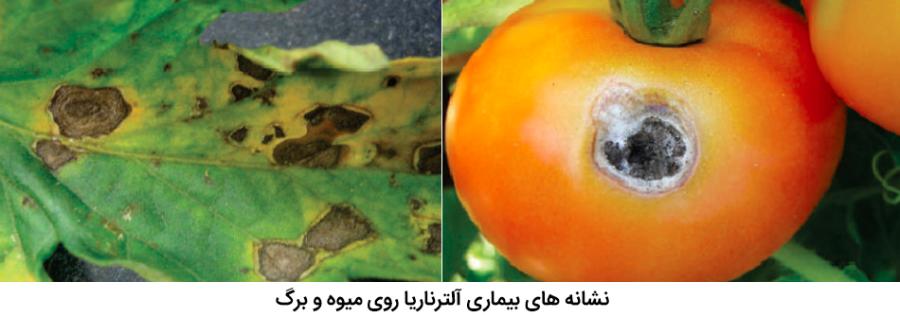 علائم بیماری آلترناریای گوجه فرنگی