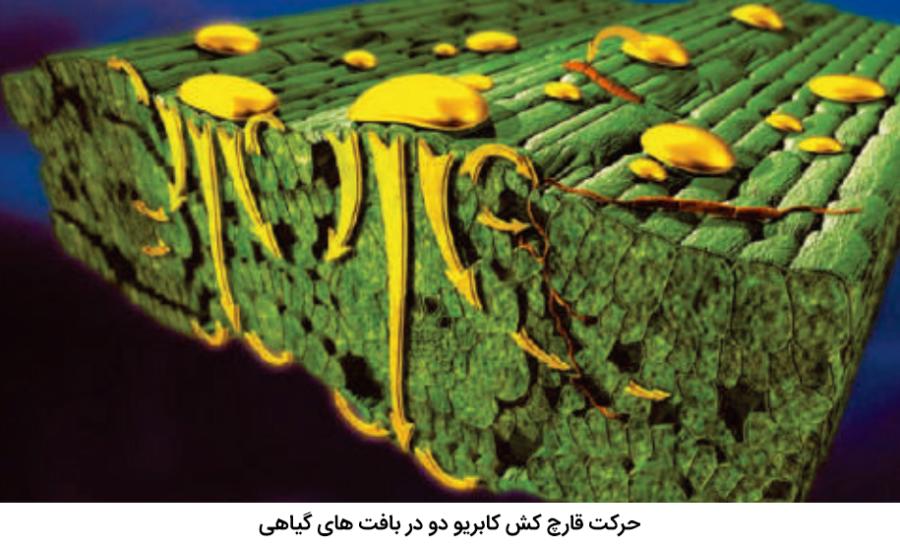 نحوه حرکت قارچ کش کابریو دو در بافت های گیاهی
